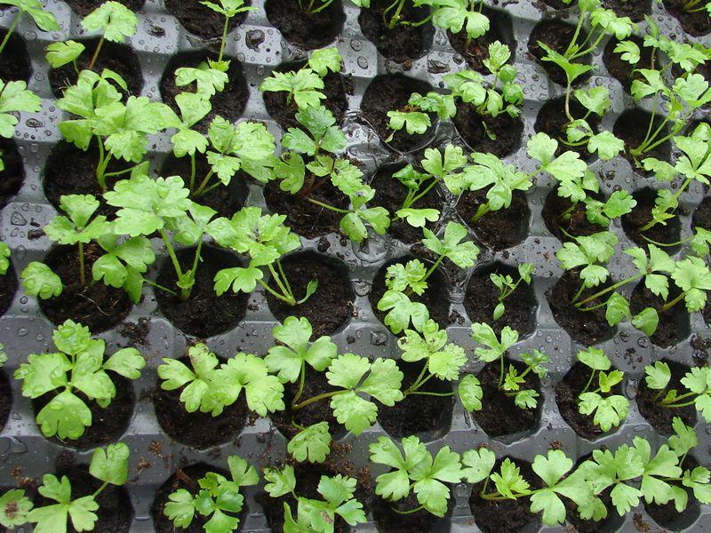 Ce ghivece utilizam pentru producerea rasadurilor?